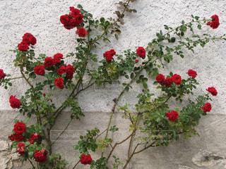 白い壁に映える赤いバラの写真・画像素材[3081069]