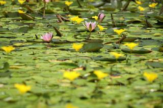 可憐な睡蓮の花の写真・画像素材[3143584]