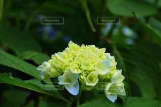 梅雨に咲く涼し気な紫陽花の写真・画像素材[3384842]