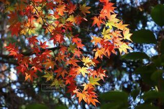 万華鏡のような紅葉の写真・画像素材[3726034]