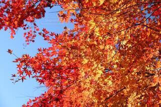 青空と鮮やかな紅葉の写真・画像素材[3726135]