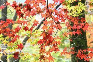 光に透ける繊細な紅葉の写真・画像素材[3726382]