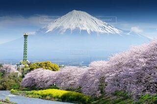 桜、菜の花、雪化粧した美しい富士山の写真・画像素材[4111930]