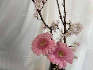 桜咲くピンクのガーベラと春うららの写真・画像素材[4248640]