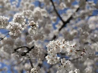 ふんわり桜と春の訪れの写真・画像素材[4270191]