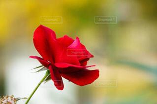 一輪の深紅のバラの写真・画像素材[4351289]