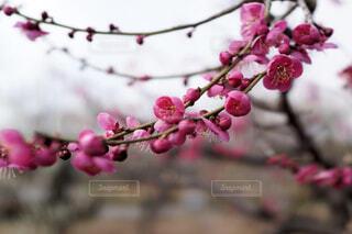 早春を感じるピンクの梅の写真・画像素材[4356736]
