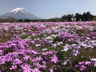 自然,風景,花,富士山,ピンク,景色,芝桜