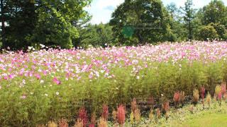 花,屋外,ピンク,緑,コスモス,北海道,鮮やか,旅行,十勝,草木,9月