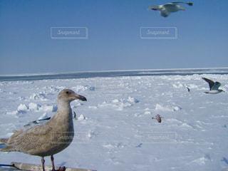 海,空,冬,動物,鳥,屋外,白,北海道,氷,旅行,立つ,カモメ,寒い,流氷,日中,網走