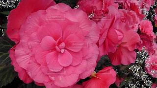 ピンクの花の写真・画像素材[1793549]