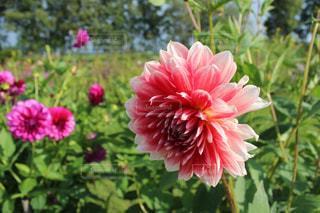 グリーンの夏にピンクの花の写真・画像素材[1793551]