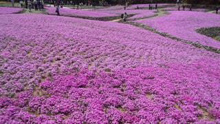 ピンクの花々の写真・画像素材[1808633]