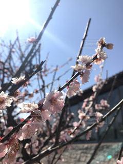 空,花,春,ピンク,枝,樹木,岡山,桃の花,犬島