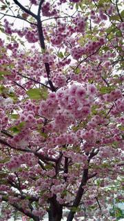 花,春,屋外,桜の花,造幣局,さくら,ブロッサム