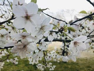 花,春,樹木,奈良,桜の花,さくら,ブロッサム