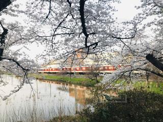 桜,屋外,電車,満開,樹木,祭り,奈良,草木