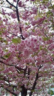 花,春,樹木,カラー,草木,桜の花,さくら,ブルーム,ブロッサム,造幣局の桜