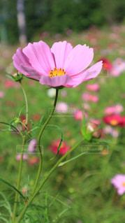 花,綺麗,生きる,一生懸命,コスモスって
