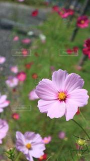ひょっこりはん,コスモスって,ひょうきん花