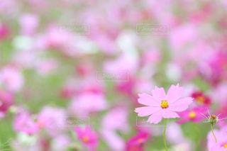 花,秋,ピンク,コスモス,河川敷,絨毯,草木,菊池,秋花