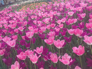 花,花畑,ピンク,チューリップ