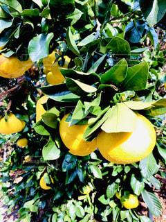 食べ物,自然,冬,木,フルーツ,果物,柑橘
