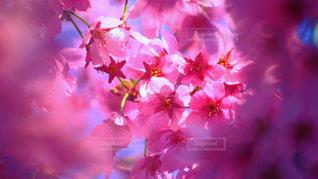 ピンク,pink,Spring,ソメイヨシノ,染井吉野,春うらら,pinky,cerisiers,cerise
