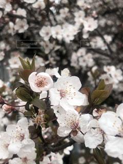 桜,大阪城公園,開花,2019年,3月21日