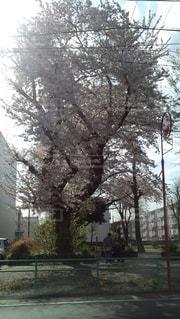 桜,桜  サクラ