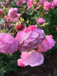 自然,花,ピンク,雨上がり,華,札幌大通り公園