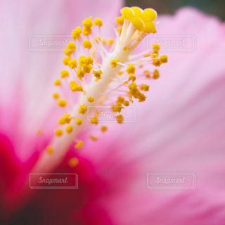 花,ピンク,ハイビスカス,鮮やか,草木