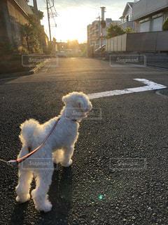 犬,散歩,夕方