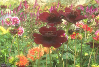 花,屋外,コスモス,カラフル,鮮やか,草木