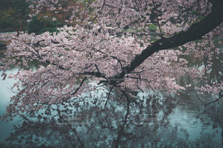風景,桜,ピンク,水面,pink,新宿御苑