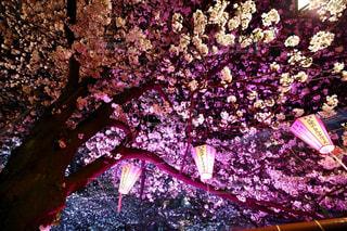 風景,桜,ピンク,目黒川,pink