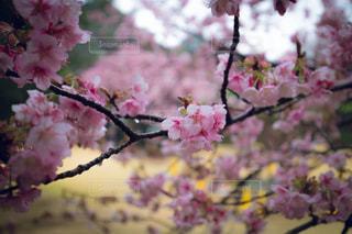 桜,ピンク,pink,新宿御苑