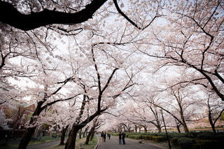桜,大阪,旅行,pink