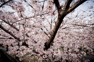 桜,大阪,ピンク,旅行,pink