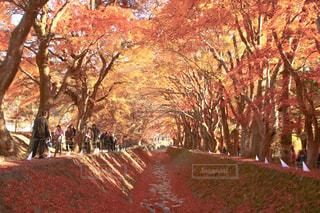 自然,秋,紅葉,もみじ,山梨県,河口湖,もみじ回廊,富士河口湖町