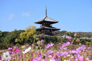 花,コスモス,晴天,奈良,秋桜,景観,撮影スポット,法起寺