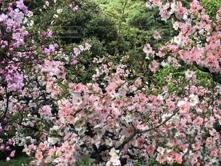 自然,花,屋外,ピンク,新宿,新宿御苑,御苑