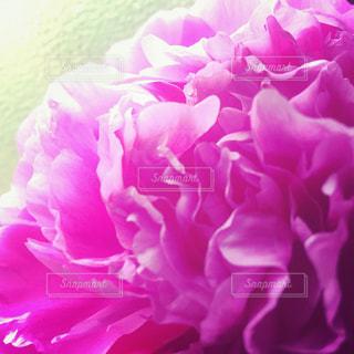 ピンク,ピンク色,pink,芍薬