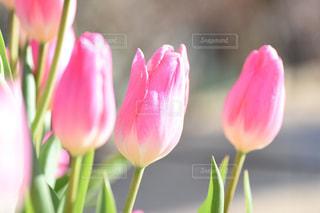 公園,花,春,ピンク,チューリップ