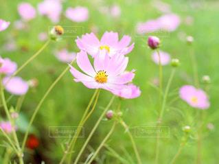 花,花畑,コスモス,長野