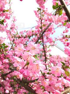 空,花,春,屋外,ピンク,桃色,日中