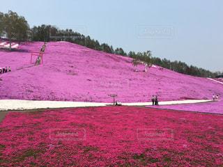 花,桜,ピンク,北海道,芝桜