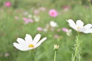 秋,コスモス,秋桜,コスモス畑,コスモスの花,江戸川松戸フラワーライン