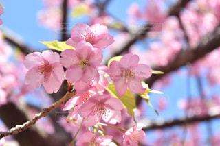 春,桜,ピンク,お台場,玉ボケ,桃色