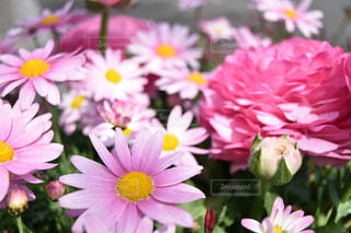 花,ピンク,コスモス,秋桜,グラデーション,桃色,ラナンキュラス